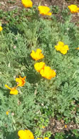 California Poppy - Eschscholtzia californica