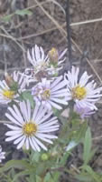 Common California Aster - Symphyotrichum chilense