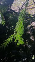 California Pine - Pinus sp